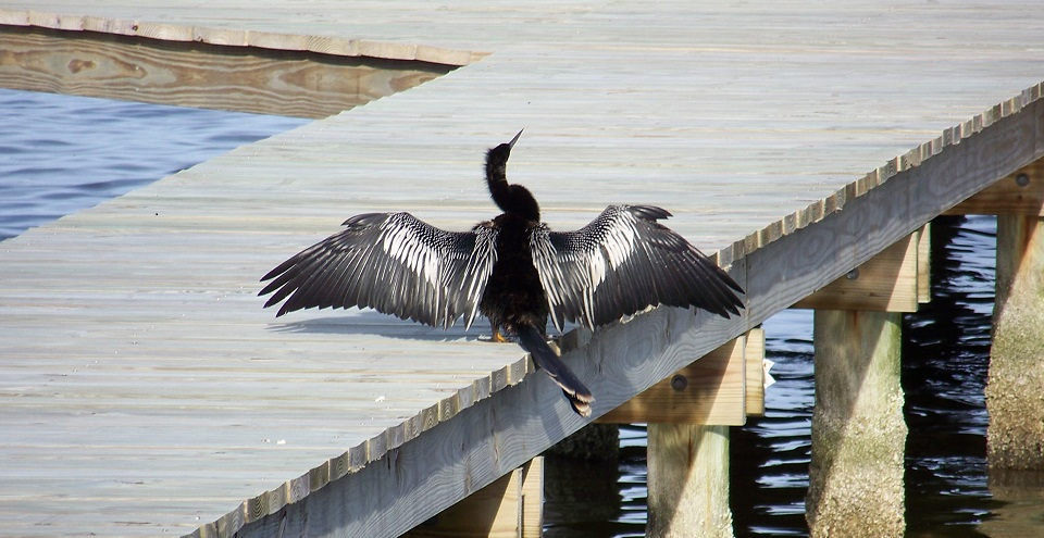Cormorant 5-6-18 003.JPG