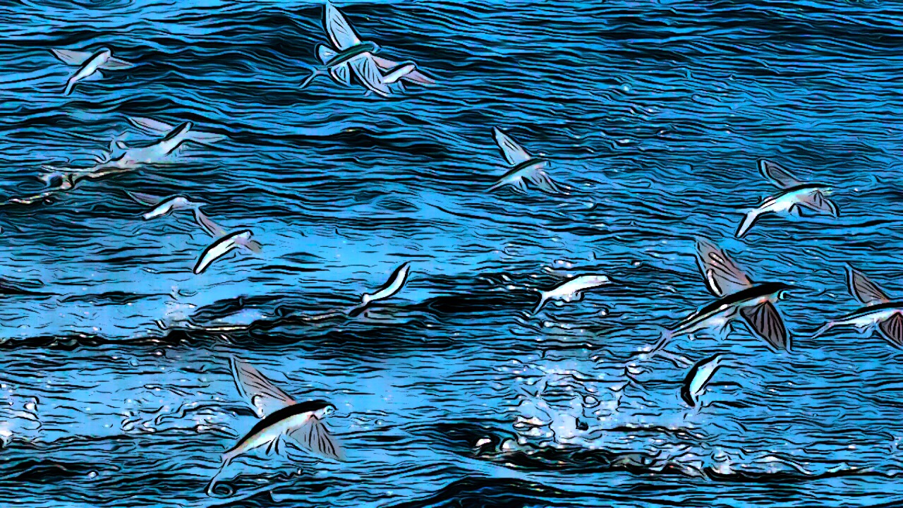 flying fish.JPG
